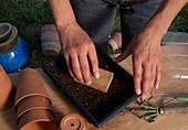 Salataussaat 3. Step: Gesiebte Erde über dem Saatgut leicht andrücken 3/5