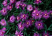 Delosperma cooperi / Mittagsblume