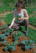 Brokkoli (Brassica), zur Abwehr von Kohlweissling Tomatenzweige auflegen