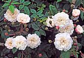 Rosa 'Little White Pet', Kleinstrauchrose, Bodendecker, öfterblühend, schwacher Duft