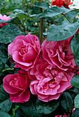 Rosa 'Deborah' syn. 'Play Rose', Floribundarose, Strauchrose, öfterblühend, wenig Duft