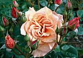 Rosa 'Martin des Senteurs' Floribundarose, Beetrose, öfterblühend, guter Duft