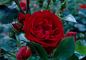 Rosa 'Rabelais' Floribundarose, Beetrose, leichter Duft
