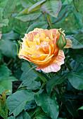 Rosa 'Paul Cezanne' Beetrose, öfterblühend, etwas duftend