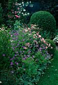 Lila-rosa Beet mit Geranium 'Nimbus'(Storchschnabel), Rosa 'Bonica' (Kleinstrauchrose), Buxus (Buchs) kleine und grosse Kugel