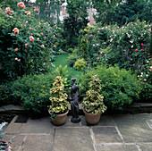 Rosengarten mit Rosa 'Leander' Englische Rose, Strauchrose, oefterbluehend mit gutem Duft , Hedera helix / Efeu in Töpfen, Figur