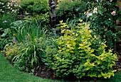 Hypericum x inodorum 'Ysella' / Duftloses Johanniskraut, Euphorbia amygdaloides / Mandelblättrige Wolfsmilch