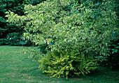 Acer negundo / Eschenahorn unterpflanzt mit Berberis thunbergii 'Aurea' / Berberitze