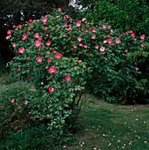 Rosa 'Pink Meidiland'syn. 'Schloß Heidegg' Strauchrose, öfterblühend, zart duftend, robust