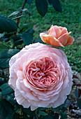 Rosa / Rose 'Abraham Darby' Englische Rose, Strauchrose, öfterblühend, gut duftend