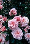 Rosa / Rose 'Sexy Rexy' syn. Heckenzauber, Floribundarose, öfterblühend, leichter Duft