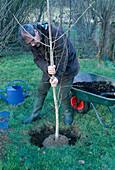 Baum pflanzen: Ginkgo biloba / Fächerbaum 1/5 Pflanzloch doppelt so groß wie den Ballen ausheben