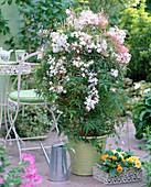 Jasminum polyanthum (Duftjasmin)
