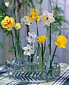 Narcissus ' Tahiti ' - ' Yellow Cheerfulness '