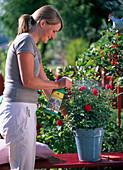 Junge Frau besprüht Rosa (rote Zwergrose)