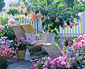 Brugmansia ' Royal Pink ' (Engelstrompete)