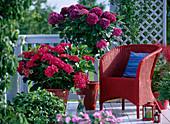 Hydrangea ' Amsterdam ' - ' Cote d'Azur ' (Hortensien)