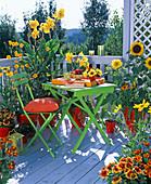 Canna (Ind. Blumenrohr), Helianthus (Sonnenblume)