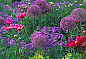 Allium ' Purple Sensation ' (Kugellauch)