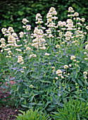 Centranthus ruber ' Albus ' (Spornblume)