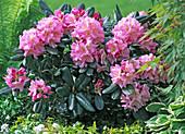 Rhododendron ' Scintillation ', Hedera (Efeu)
