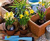 Zutatenstil ' Kasten mit Zwiebeln bepflanzen ' : Hyacinthus (Hyazinthe)
