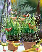 Ostergras aus Weizen, ausgesät