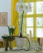 Amaryllis 'Mont Blanc' mit Tulpen und Primel