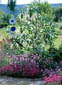 Chionanthus virginicus / Schneeflockenstrauch, Dianthus / Nelken, Armeria / Grasne