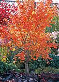 Prunus incisa ' Kojou-no-mai ' (Japananische Zierkirsche)