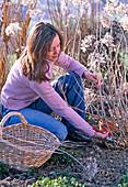 Junge Frau schneidet Hydrangea arborescens (Strauchhortensie)