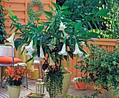 Brugmansia (Datura, Engelstrompete)