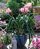 Amarcrinum (Gartenamaryllis)