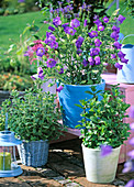 Campanula medium (Marienglockenblume)