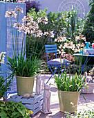 Agapanthus ' Alice Gloucester ' (weiße Schmucklilie)