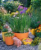 Iris ensata (Japanische Sumpfiris), Myriophyllum (Tausendblatt)