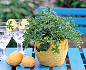 Pelargonium citronella ' Moskitoschocker ' (Zitronengeranie)