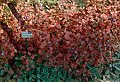 Ceratostigma plumbaginoides (Bleiwurz) in Herbstfärbung