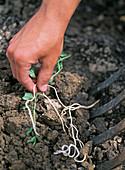 Wurzelunkräuter behutsam mit Grabegabel aus der Erde ziehen