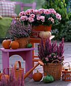 Chrysanthemum ' Yahou ' (Herbstchrysantheme)