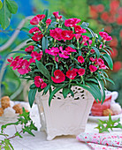 Dianthus Ideal Select ' Raspberry ' (Nelke)