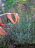 Lavandula (Lavendel)