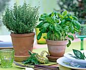 Thymus vulgaris (Thymian), Ocimum (Basilikum)