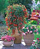 Begonia ' Illumination Orange ' (Girlandenbegonie)