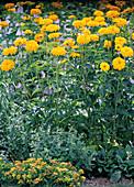 Heliopsis scabra ' Gelbgrünherz ' (Sonnenauge)