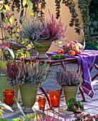 Calluna vulgaris Garden Girls ' Aphrodite ', ' Annette ', ' Sandy ', ' Alicia '