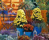 Chrysanthemum (Chrysantheme) Pyramiden und Büsche,