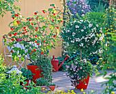 Solanum jasminoides (Jasmin), Abutilon (orange Schönmalve)