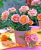 Rosa (Mini-Topfröschen) rosa-aprikot in rosa Blechtopf