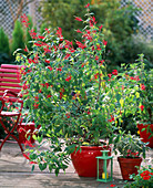 Salvia rutilans (Ananassalbei), Salvia officinalis ' Creme de la Creme '